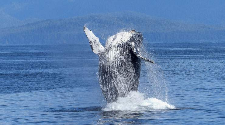 Humpback, Southern Right, Minke and Blue Whales all belong to the baleen whale species